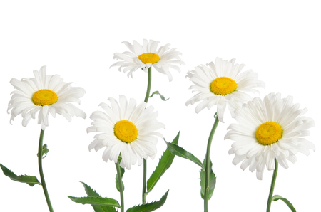 five petals: beautiful chamomiles isolated on white Stock Photo