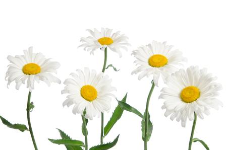 chamomiles: beautiful chamomiles isolated on white Stock Photo