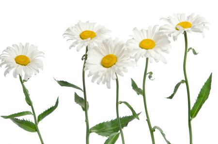 flores de manzanilla en el fondo blanco