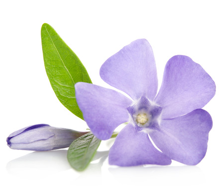 Beautiful blue flower periwinkle with bud on white background Stock Photo