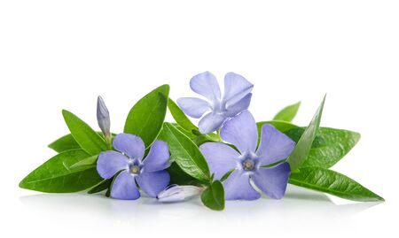 Beautiful blue flowers periwinkle on white background Imagens