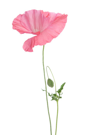 beautiful single pink poppy isolated on white Stock Photo