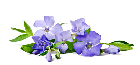 Beautiful blue flower periwinkle isolated on white background Imagens