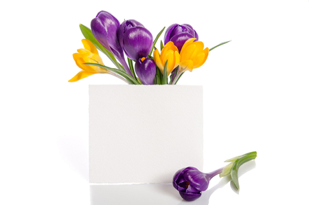 bouquet from crocus flowers in vase  with empty card for your text isolated on white background Stock Photo