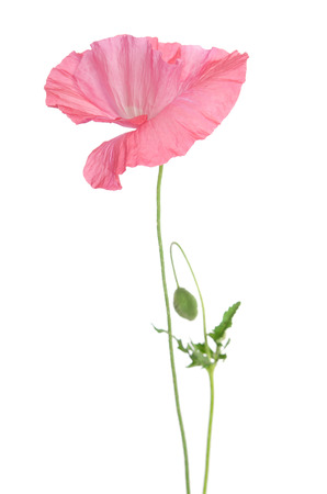 Beautiful single pink poppy isolated on white