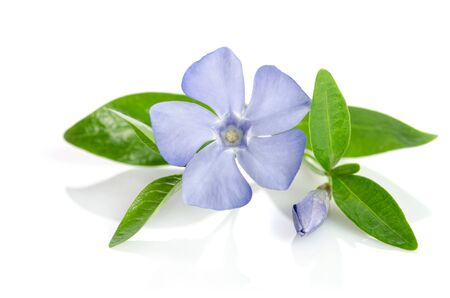 Beautiful blue flower periwinkle on white background Imagens - 79999705