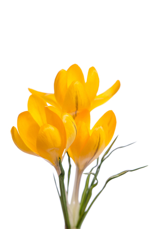 Crocus flowers  isolated on white