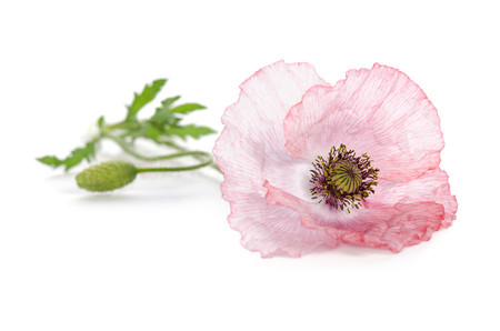 pink poppy on white background Stock Photo