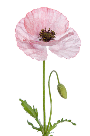 is green: Single poppy isolated on white background. Stock Photo
