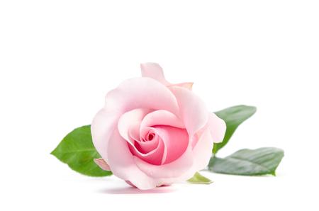 single bud of pink rose isolated on white background Stock Photo