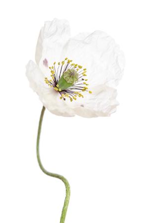 Single white poppy isolated on white