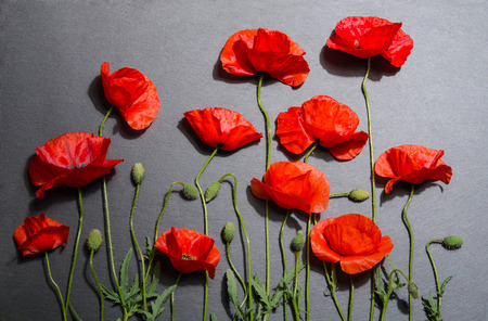 Red poppies on grey background Imagens