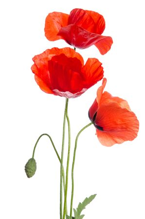 Bouquet of beautiful red poppies on white background