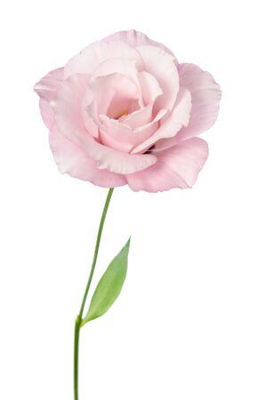 Beautiful Eustoma flower isolated on white Reklamní fotografie
