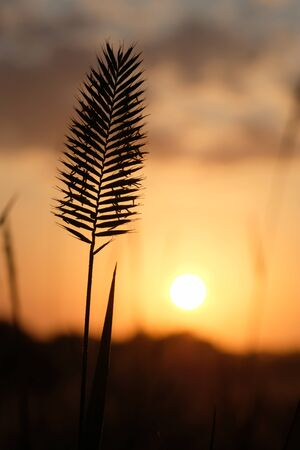 Silhouette of a flowering spike at sunrise