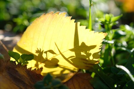 Maple leaves in autumn forest in sunny day