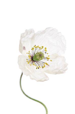 Single poppy isolated on white background. Reklamní fotografie