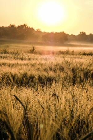 Dawn in a wheat field. Beautiful landscape on sunrise