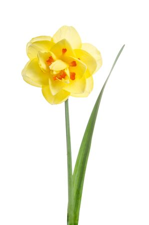 Single flower of yellow daffodil isolated on white background Stock fotó
