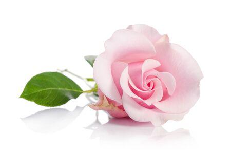 einzelne rosa Rose lokalisiert auf weißem Hintergrund
