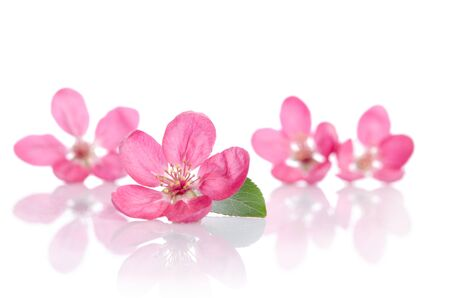 four beautiful pink flowers isolated on white background