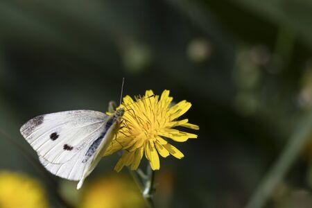 white butterfly on yellow flower,green background Reklamní fotografie