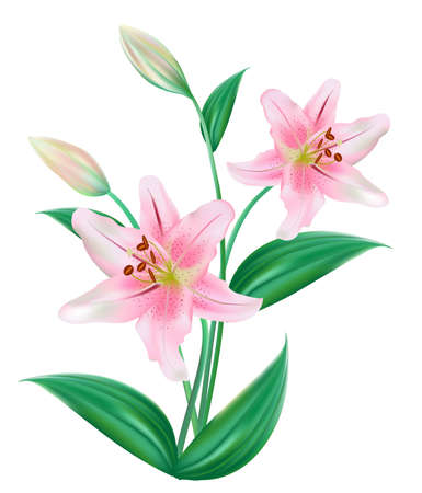 pink and green: Lilly Flower Isolated