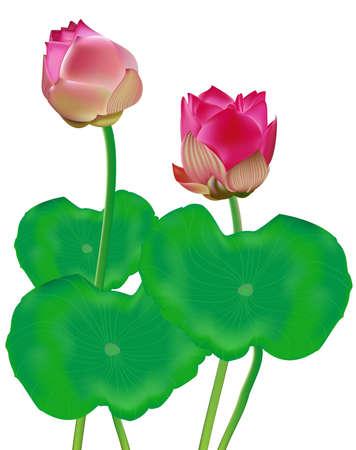 Beautiful Lotus Vector Illustration
