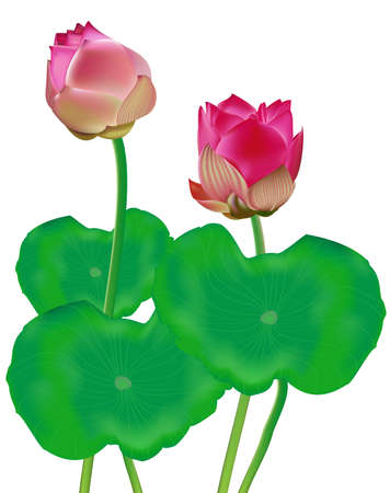 lily leaf: Hermosa Vector Lotus