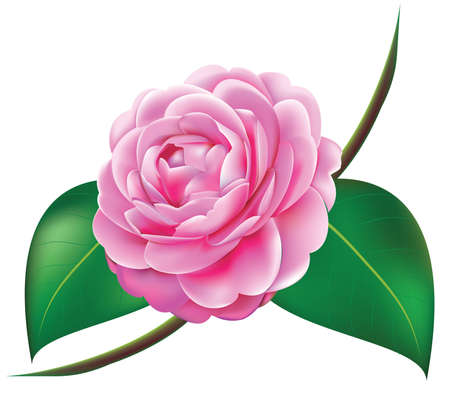 flowers close up: Beautiful Camellia vector