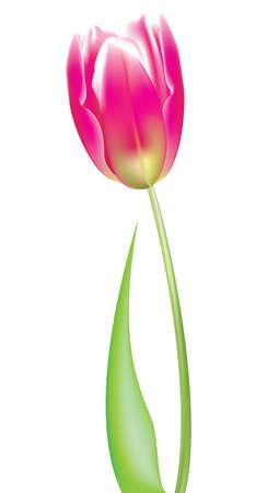 Pink tuilp vector Stock Vector - 13593293