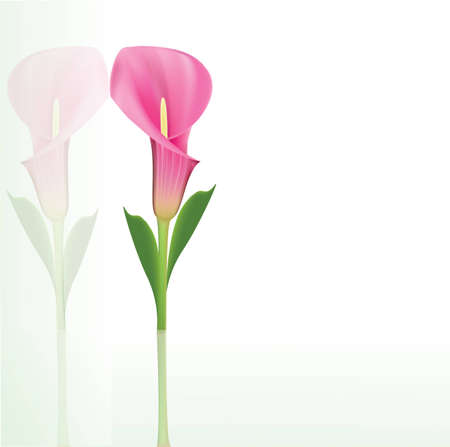 Beautiful pink calla lily Vector
