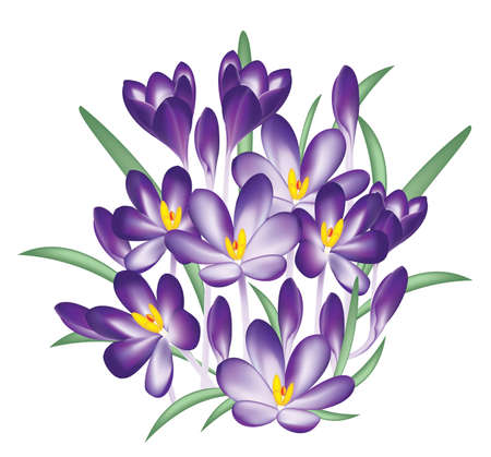 primrose: Violet crocus flowers vector