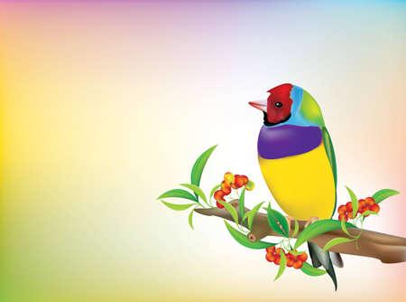 lonely bird: Gouldian Finch