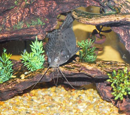 aquarium hobby: Tropical aquarium fish Stock Photo