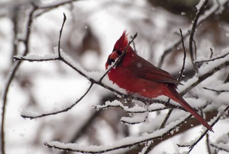snow cardinal: red cardinal in snow Stock Photo