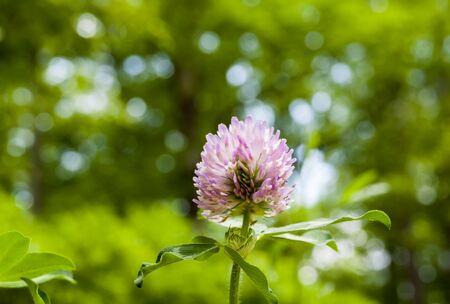 trifolium: Clover (1)