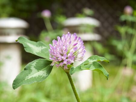 trifolium: Clover (2)