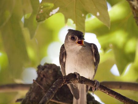 tufted: Tufted Titmouse on a branch