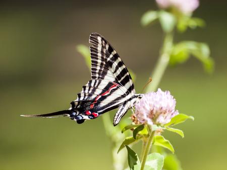 pink floral: Zebra Swallowtail 3 Stock Photo