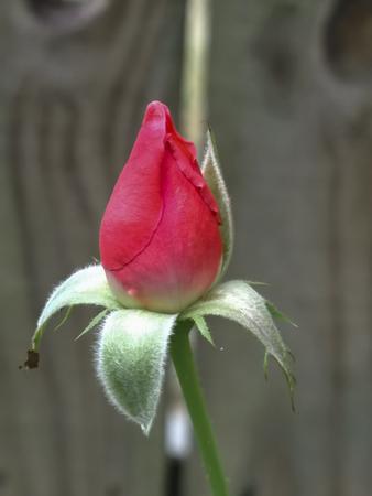 Rose Bud Imagens - 47795658