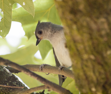 tufted: Tufted Titmouse closeup Stock Photo