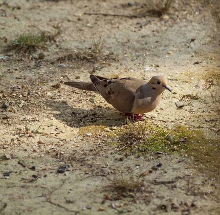 luto: Una consumición de la semilla de luto de la paloma