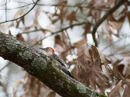 woodpecker: woodpecker on a limb