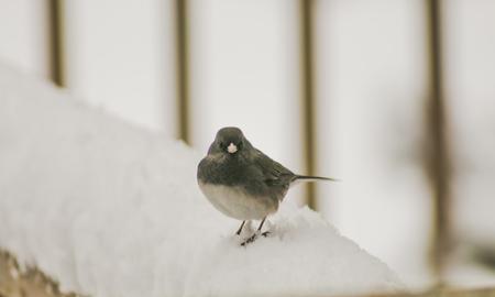 grey eyed: junco on a snowy rail (1)
