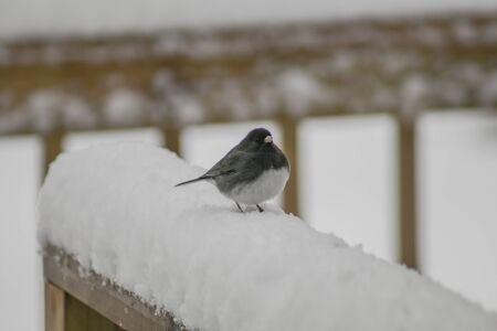 grey eyed: junco on a snowy rail (2)