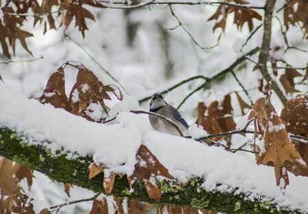 bluejay: Blue Jay in the snow.(1)