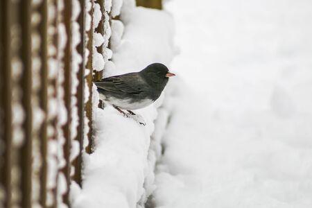 grey eyed: Snowbird looking at snow.