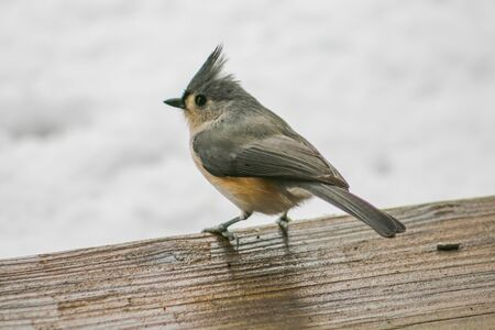 tufted: Tufted Titmouse perched.