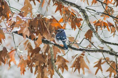 bluejay: Blue Jay in the snow.(2)